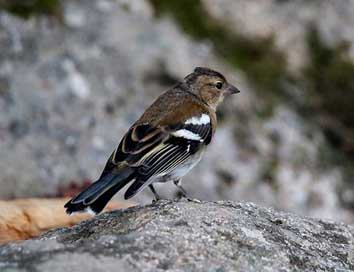 Chaffinch Bird Andorra Female