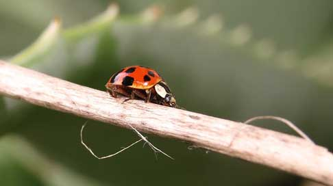 Insect Coccinellidae Beetle Nature