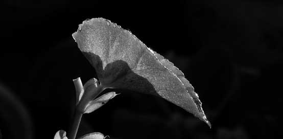 Black-And-White Garden Nature Leaf