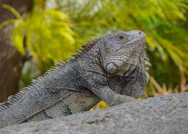 Lizard Reptile Animal Iguana