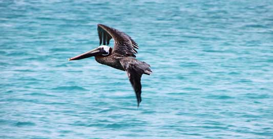 Pelikan Pelecanus-Occidentalis Brown-Pelican Bird