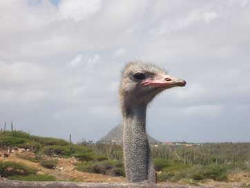 Ostrich Head Bird Aruba