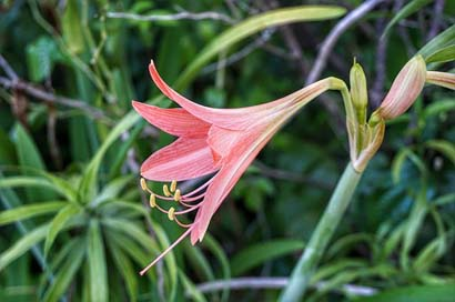 Striped-Barbados-Lily Red Pink Lily