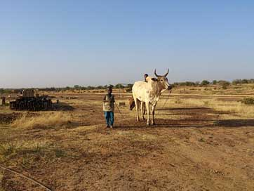 Ouahigouya Work Cow Burkina-Faso
