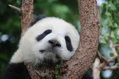Panda Rest Sleep Panda-Bear
