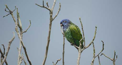 Ave Animal-Exotic Fauna Green-Parrot