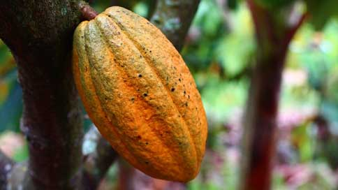 Cocoa Harvest Fruit Cultivation