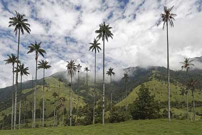Colombia Wax-Palm-Trees Cocora-Valley Palm-Trees