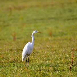 Egret Luxembourg Bird Nature
