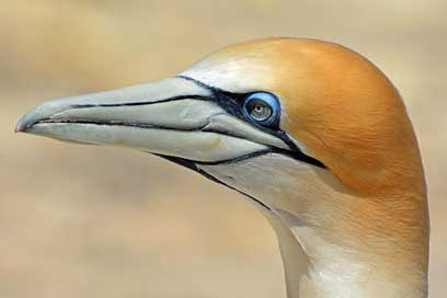 Northern-Gannet Nature Animal Bird