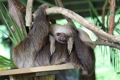 Panama Mother Child Sloth
